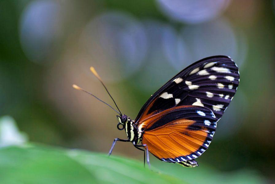 Oranje passievlinder met bokeh