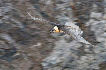 Lammergier ( Gypaetus barbatus ), dynamische vluchtopname ( sleepboot ) Zwitserse Alpen, fauna, Euro van wunderbare Erde