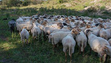 een kudde schapen van Compuinfoto .