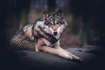 European wolf van Mark Zanderink