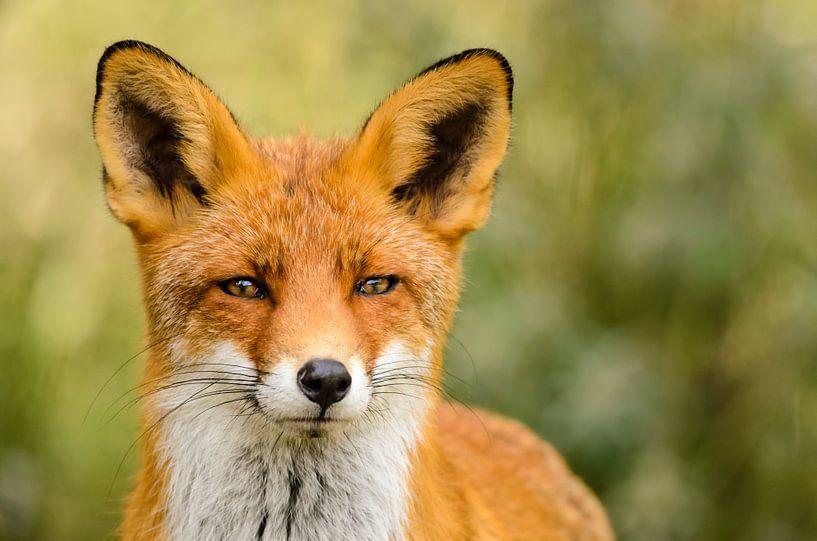 Rode vos van Richard Guijt Photography