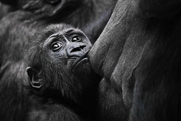 De baby gorilla kruipt gulzig aan de moederborst en sostet de melk van de angstige blik van humanoïd van Michael Semenov