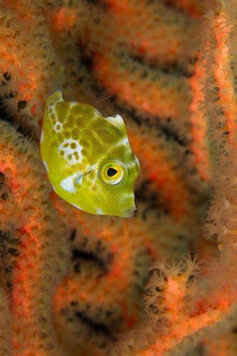 Klein geel visje van