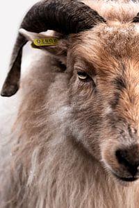 Portret Drents Heideschaap - kleur van Christien Hoekstra