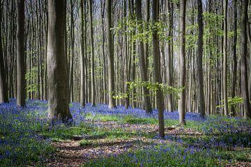 Jacinthes des bois dans la forêt de Haller sur Adri Vollenhouw