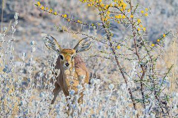 Steenbok in Etosha National Park van Jurgen Hermse