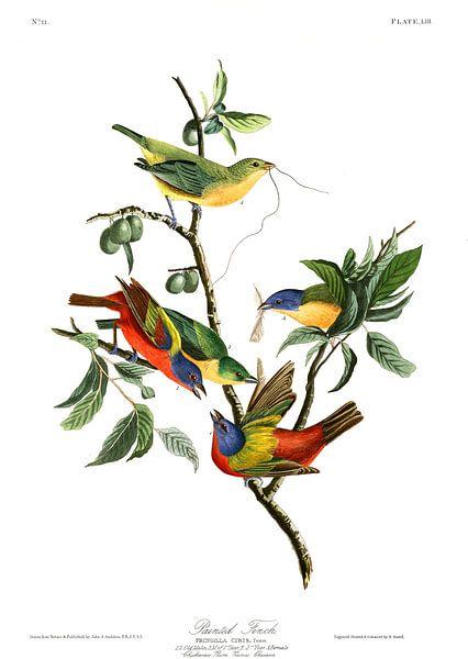 Geschilderde Astrild van Birds of America