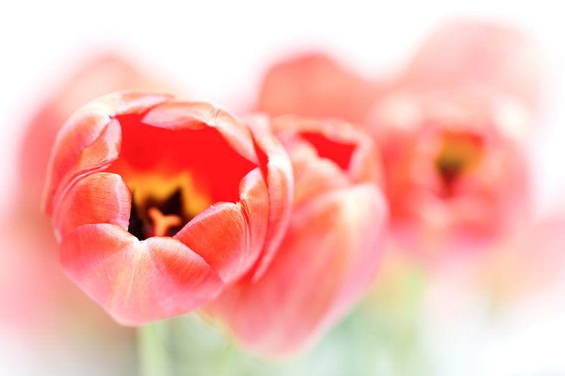 Tulips, a little less fresh... (bloem, tulp) van Bob Daalder