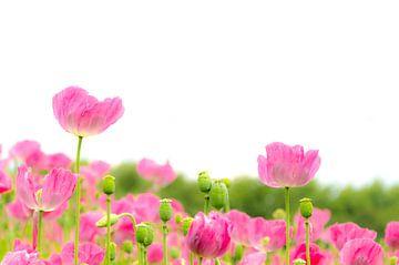Papaverbloemen in roze van
