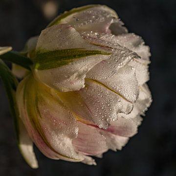 Tulpe Goeree Overflakkee von Karen de Geus