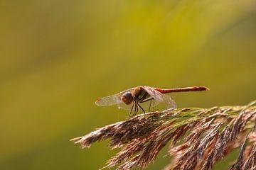 Libelle auf Schilfrohrfeder von Bas Maas