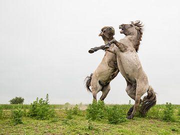 Paarden | Stijgerende konikpaarden Oostvaardersplassen 3 van