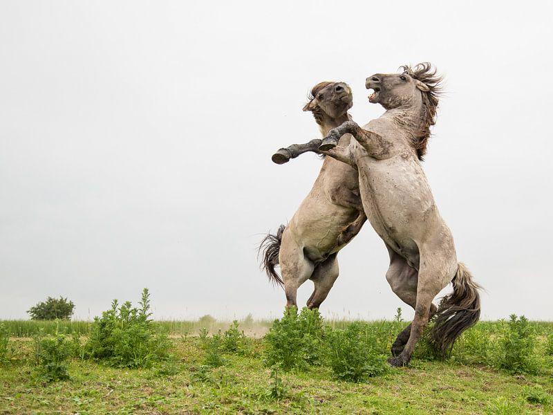 Paarden | Stijgerende konikpaarden Oostvaardersplassen 3 van Servan Ott