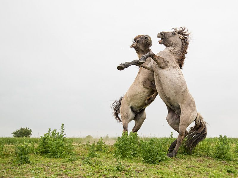 Stijgerende konikpaarden Oostvaardersplassen 3