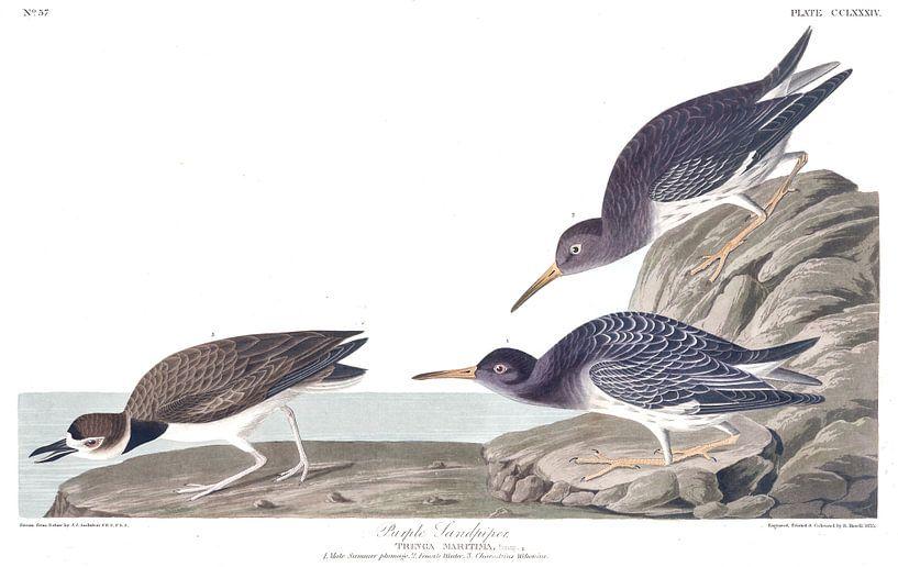 Paarse Strandloper van Birds of America