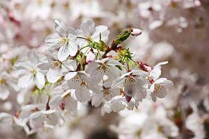 springtime! ... Under The Cherry Tree 01