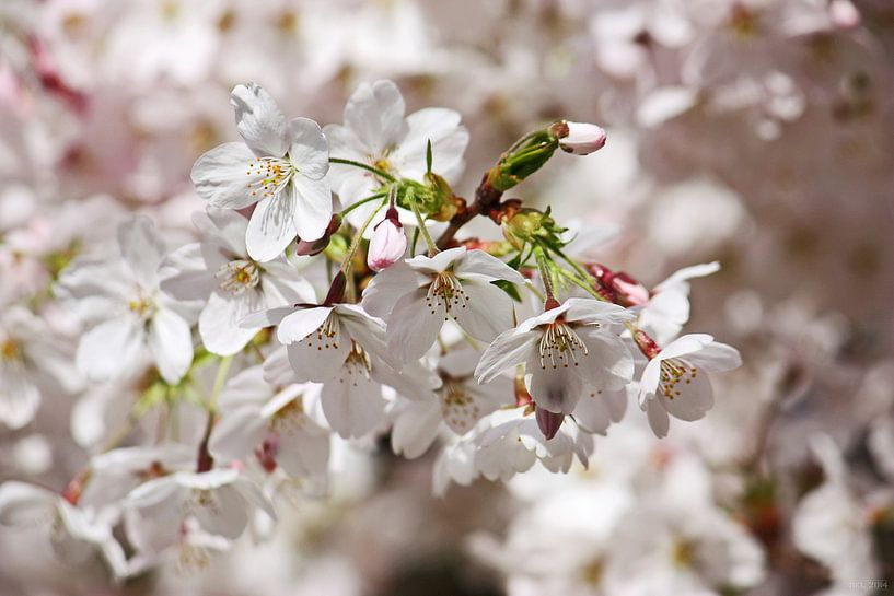 springtime! ... Under The Cherry Tree 01 van Meleah Fotografie