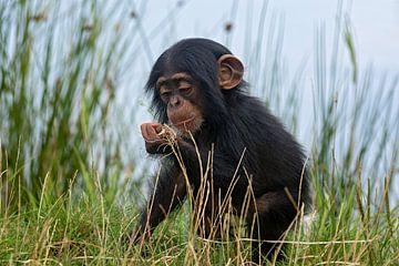 portret van een baby chimpansee van