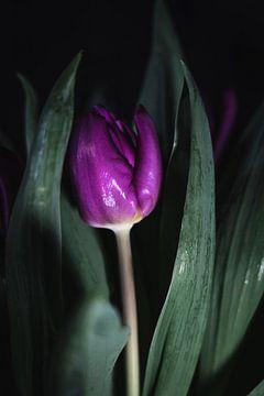 Tulpe im Dunkeln von Marjon Boerman