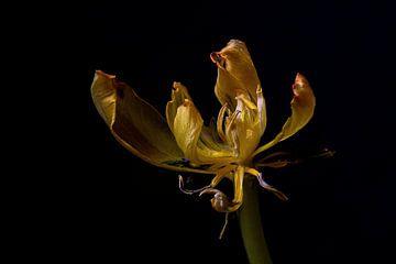 Tulpe von Sylvia Van Dijk
