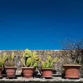 Cactussen van Francisca Snel (Cissees)