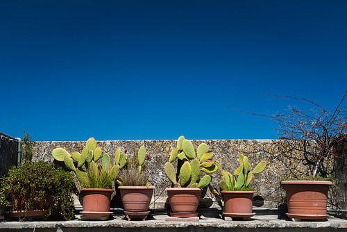 Kaktus von