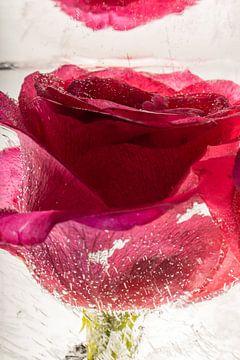Rode roos in kristalhelder ijs 1 van Marc Heiligenstein
