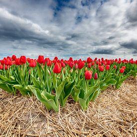 Rode Tulpen 2020 Vooraanzicht van Alex Hiemstra