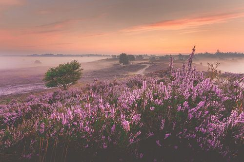 Zonsopkomst boven paarse heide veld