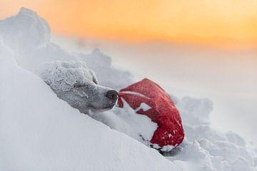 Husky in de sneeuw bij zonsopkomst
