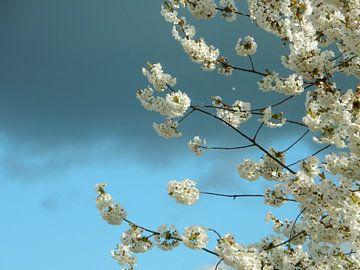 bloeiende kersenboom van Joke te Grotenhuis