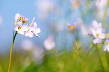 pinksterbloemen sur Hanneke Luit