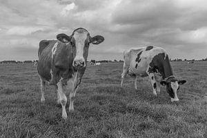 Nieuwsgierige koe zwartwit in de weide van