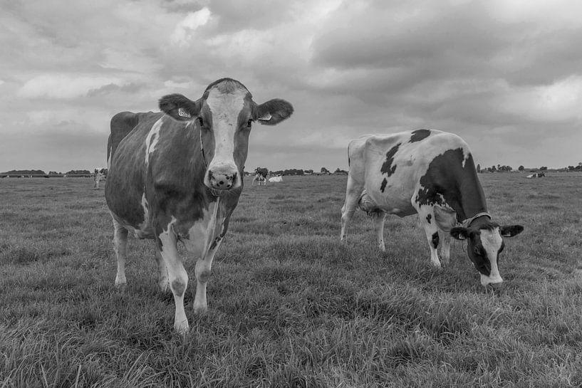 Nieuwsgierige koe zwartwit in de weide van Yvonne van Driel