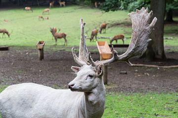 Witte Damhert van
