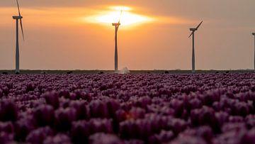 Purpurne Tulpen im Polder voller Windmühlen am Horizont von Studio de Waay