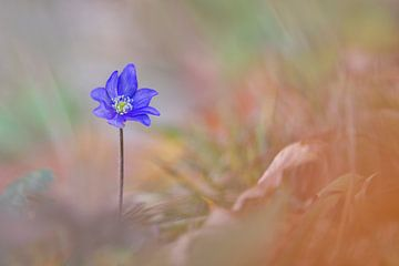 Frühlingsschönheit im Herbst von Karin Berger