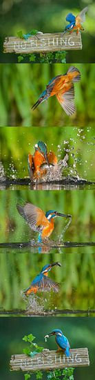 IJsvogel - Blauwe flits