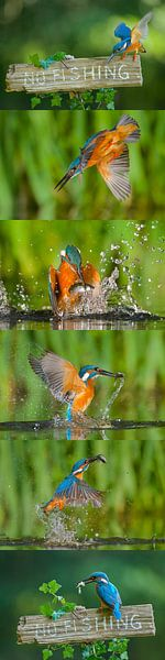 IJsvogel - Blauwe flits van IJsvogels.nl - Corné van Oosterhout