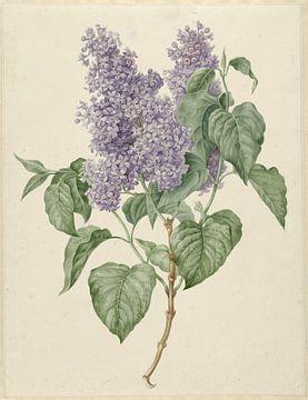 Zweig mit lila Flieder, Maria Geertruyd Barbiers-Snabilie