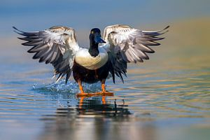 Vliegend mannetje Slobeend van Beschermingswerk voor aan uw muur