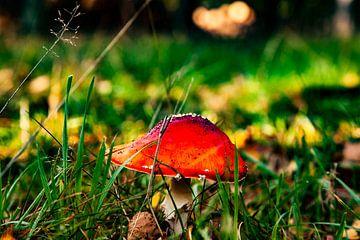 Pilz Herbst Veluwe von Tim Annink