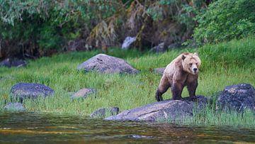 Grizzly van Gerard Oonk