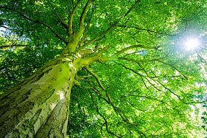 Beukenboom met groot groen bladerdak en doorschijnende zon van