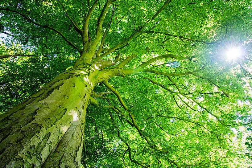 Beukenboom met groot groen bladerdak en doorschijnende zon van Heleen van de Ven