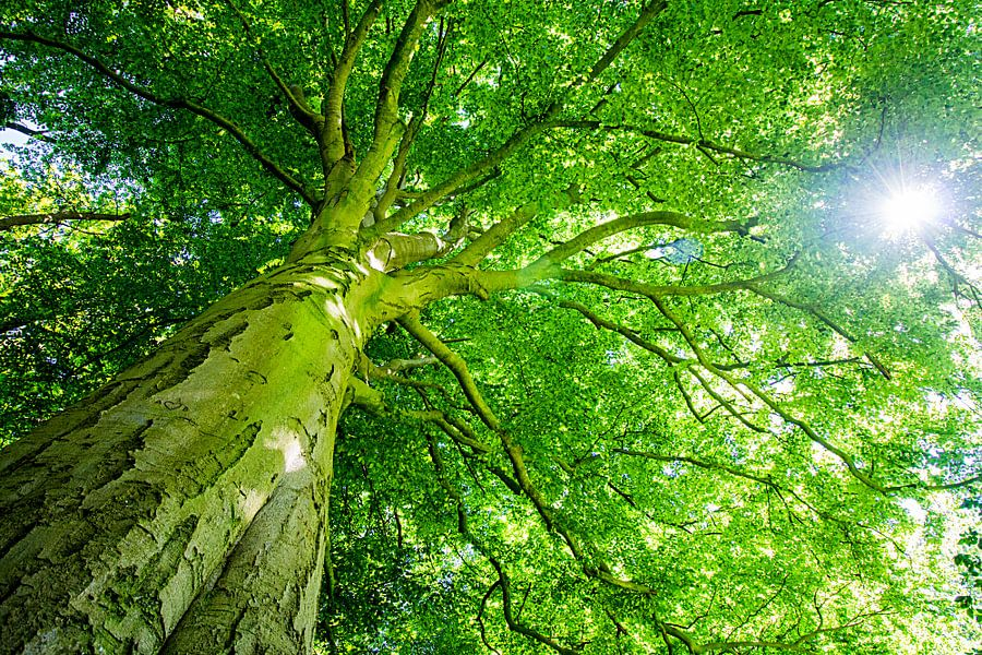 Beukenboom met groot groen bladerdak en doorschijnende zon