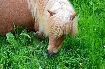 Pony mit weißer Mähne von Susanne Seidel