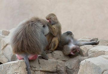 Kühlende Affen von Marcel Kerdijk