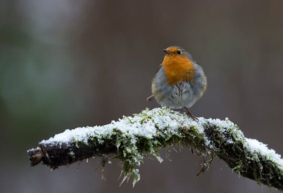 roodborst in winter