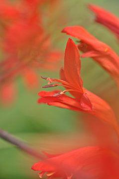 rode bloem von Pyter de Roos